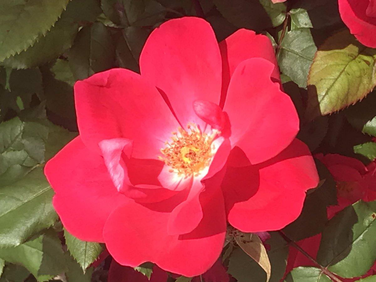 Fragrant roses in seaside Belmar #travelphotography, #garden pic.twitter.com/DOb9wwhSF7