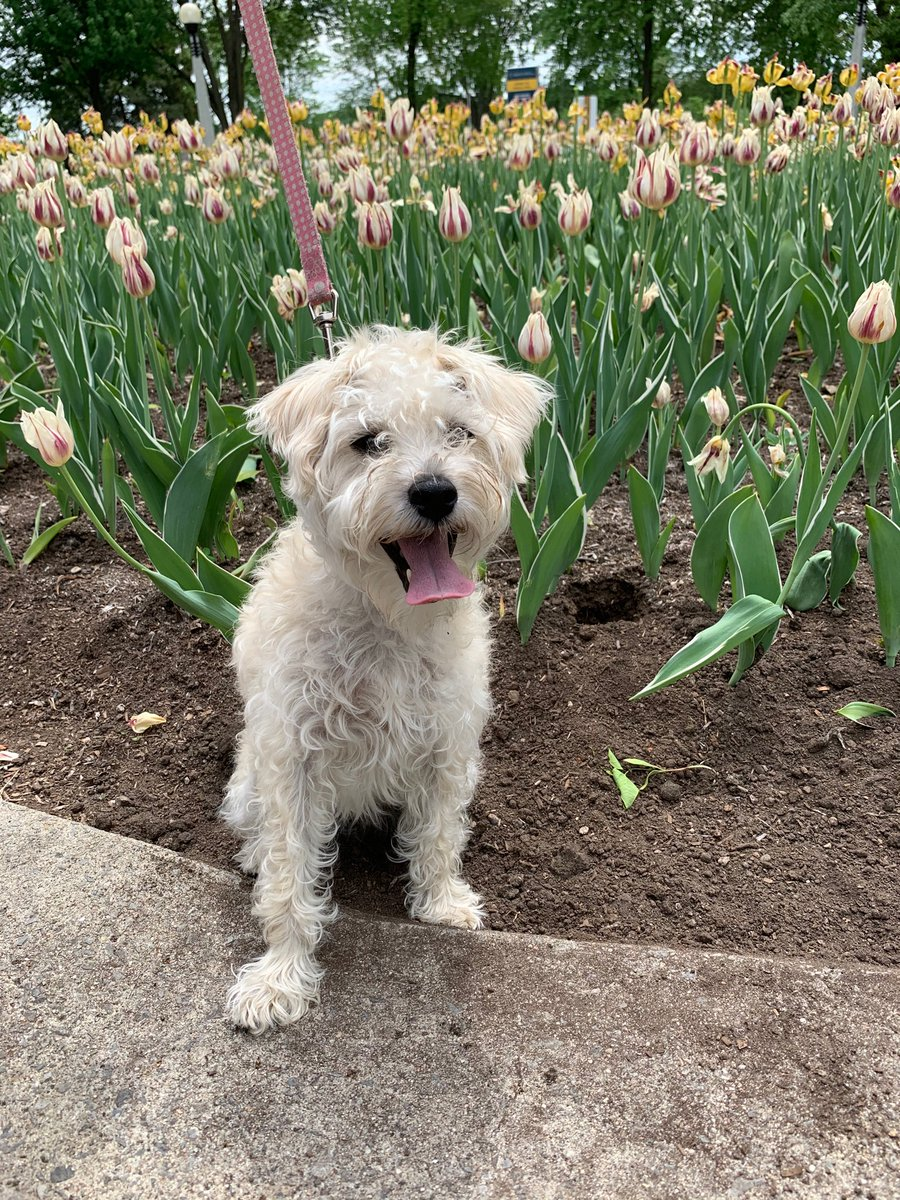 So much nicer  in #ottawa today! Lovely #ottweather for a walk through #tulips with my best friend.pic.twitter.com/vaHyFvowTz