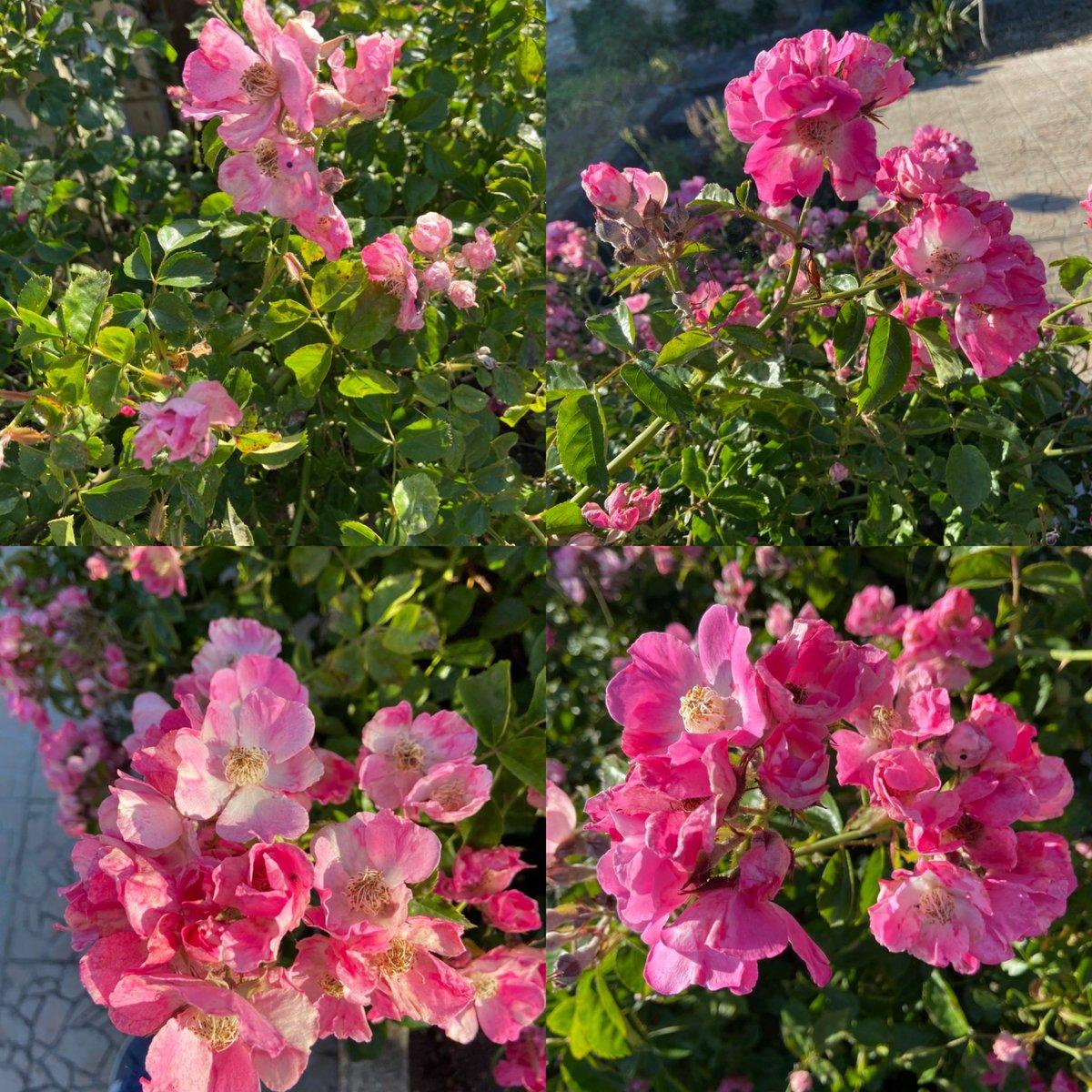 Notre jardin plein de roses! C'est enivrant! Plein de dessins en perspective #mygarden #monjardin #jardin #garden #roses #rosas #flores #flowers #printemps #primavera #soleil #sun #bonheur #felicidad #hapinesspic.twitter.com/Kzjn8xJ41f
