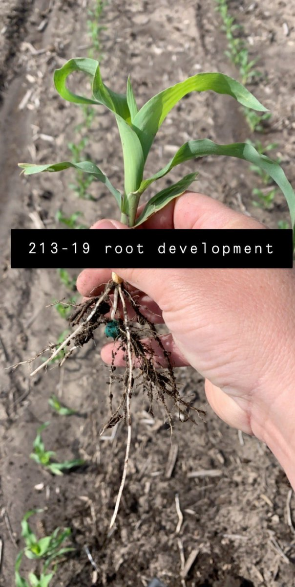 With the warm & rains, root development is really taking off. This @channelseed 213-19VT2P is a great example of setting up a great root system to feed this plant. #Grow20 https://t.co/SQ8NwyDRq6
