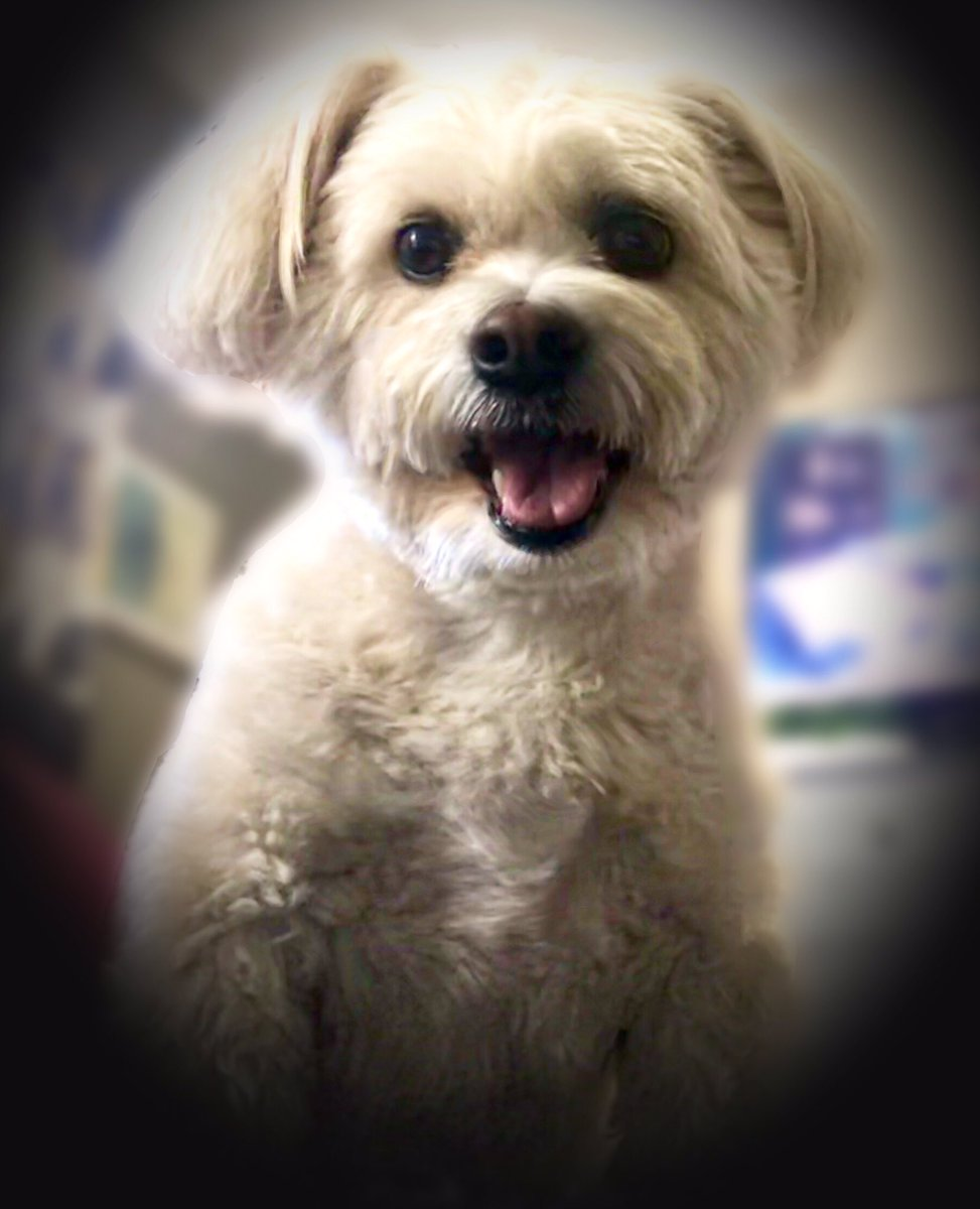 My mom saw this brave smile all week despite my injured hind knees & it taught her a lesson. When life gives you 100 reasons to cry,...show life that you have 1000 reasons to smile.  She's so proud of me. #dogsoftwitter #dogs #Dog #ThursdayThoughts #Inspiration #happiness pic.twitter.com/dVmZkdjcFa