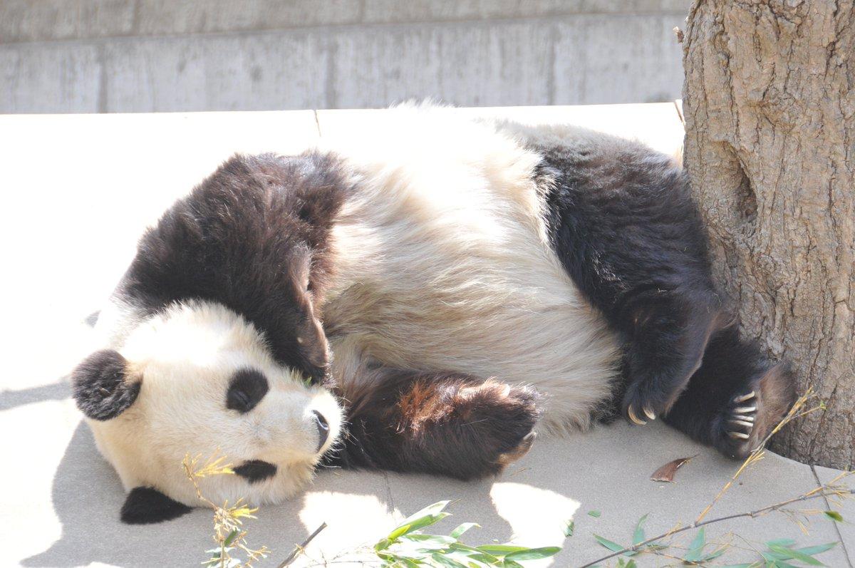 そのまま半回転してからの再びの睡眠『おきんのか~い』ってよくなります(笑)#きょうのタンタン #担当心のツッコミ