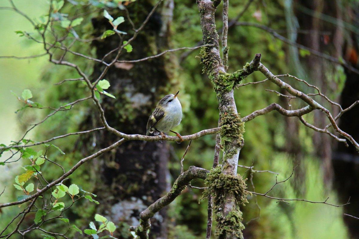"""We want to send a big mihi to Ngāti Waewae. I understand Ngāti Waewae refer to the area around Te Kinga and the lake as Rerenga ki taonga o nga manu ki Kotuku Moana, """"the refuge of treasured birds belonging to Kotuku Whakaoho/Lake Brunner"""". @EugenieSage Rifleman : Vil Sandi"""