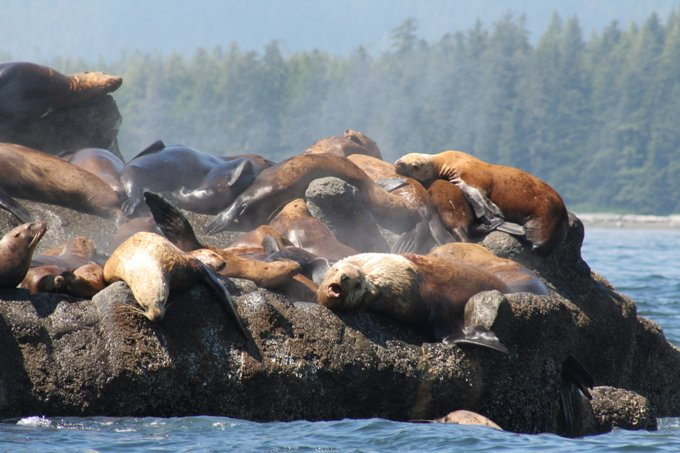 RT @orcaspiritvic: Sea Lion Rock, located near Carmanah Lighthouse, is home to barking sea lions soaking up the sun. These pinnipeds (flipper footed mammals) fatten up on salmon and herring, eating as much as 77 lbs (35 kg) a day! #Whalewatching #VictoriaBC #BritishColumbiapic.twitter.com/BH206sHRB2