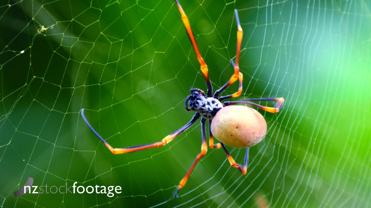 Searching the WEB for Exclusive Stock Footage Clips and Stills? Head to http://nzstockfootage.co.nz  for everything you need! #stockfootage #nzstockfootage #spider #photography #nature #insectspic.twitter.com/eLGNWJCofb