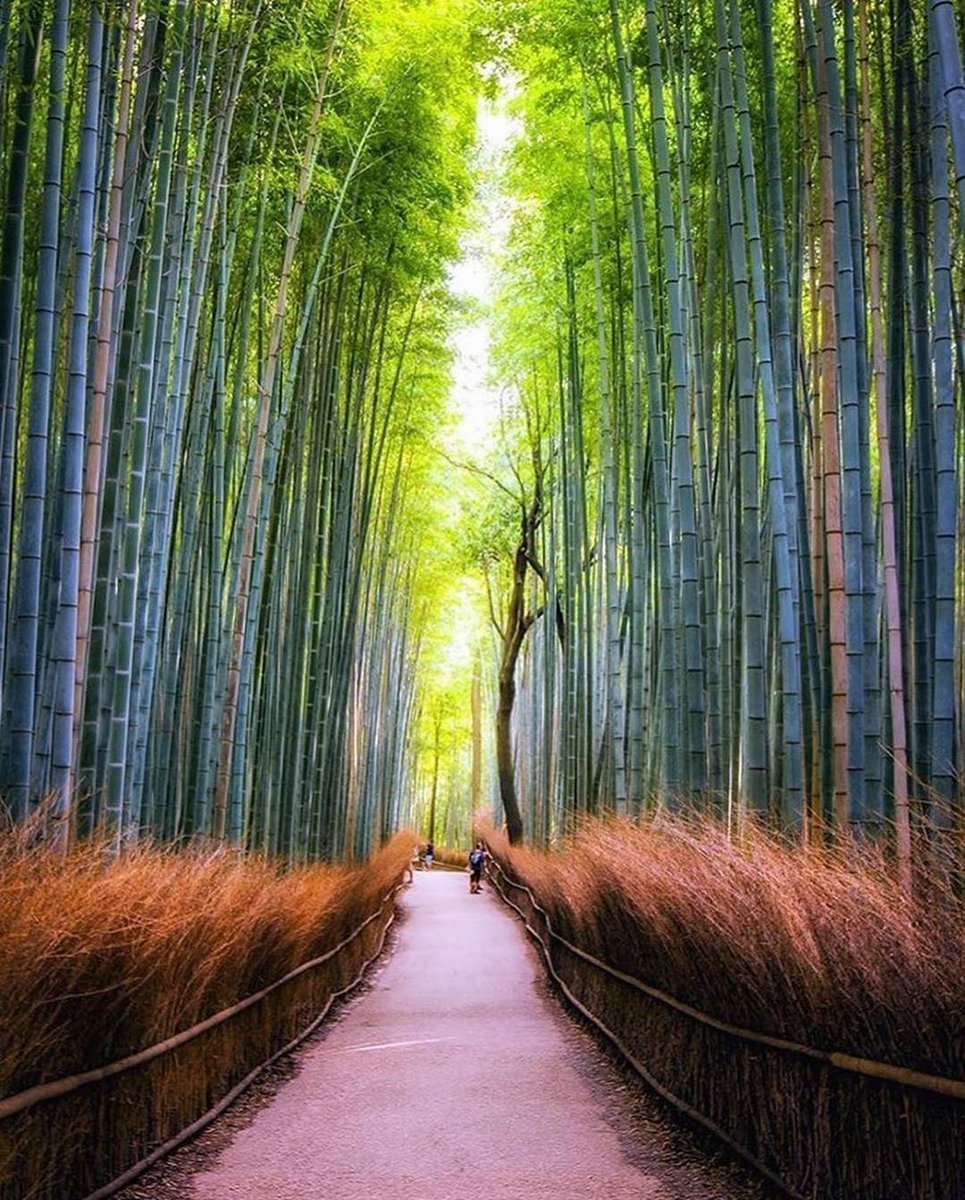 The Arashiyama Bamboo Grove is one of Kyoto top sights and for good reason: standing amid these soaring stalks of bamboo is like being in another world.   #NaturePhotography  #Japan  #kyoto #Wonderful #PhotoOfTheDay   tankensurutokyopic.twitter.com/8XiNFNJt9y