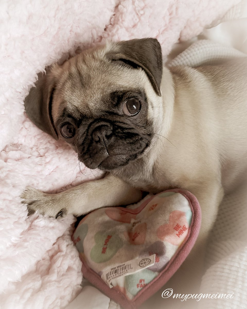 Throwback Thursday with my lil Heartbreaker much love mei meixoxo . . This crinkly heart toy was and still is one of mei's favorite toys. Do you have a favorite toy??? . . #pugs #dogs #dog #pug #dogsoftwitter #ThrowbackThursday #photoshoot #Throwback #photooftheday #INSTA #USpic.twitter.com/WvibI08BEX
