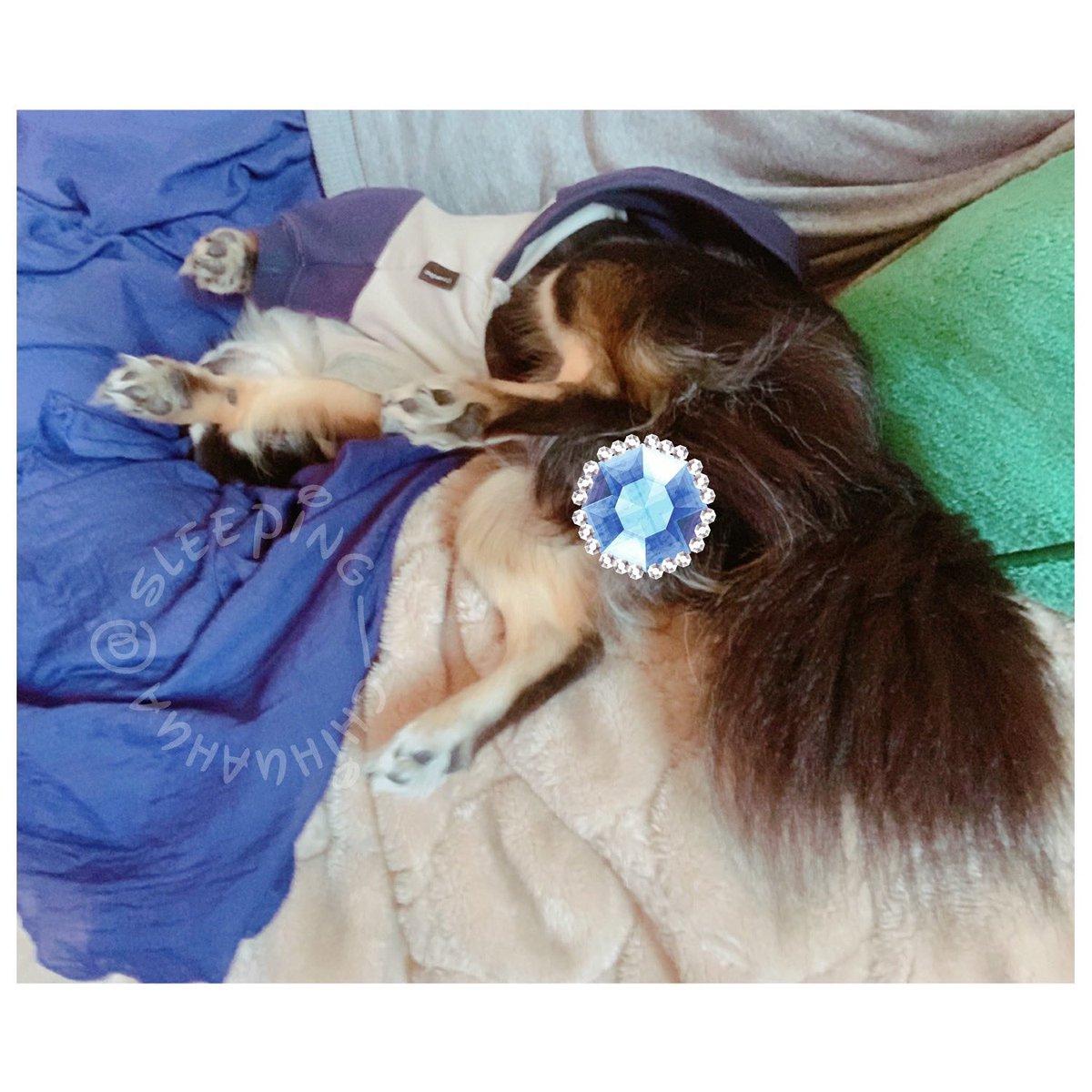 #sleeping #chihuahua #sleepingchihuahua #チワワ #寝相 #寝姿 #基本仰向け #笑える寝相 #無理矢理ではありません #のり巻きくんの寝姿  まだまだ密やかに #stayhome 継続中。 https://t.co/jeYZL9x5M6