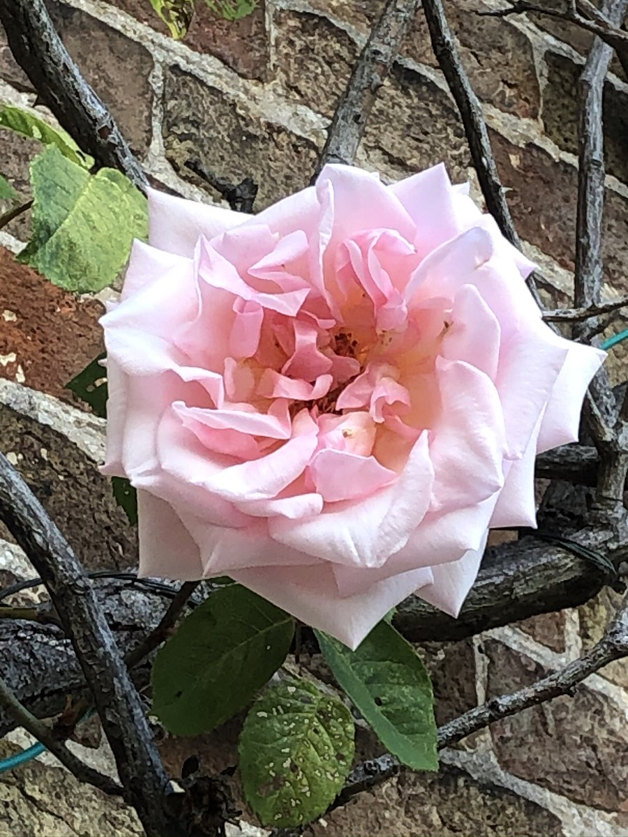 Following the rose theme of last tweet, does anyone know what this climber is? Smells of a proper old fashioned rose. I love it and want to take a cutting but it's rather high up and I've never tried to take a rose cutting before. If I knew what it was I'd buy one. https://t.co/sbgMnUqRfc