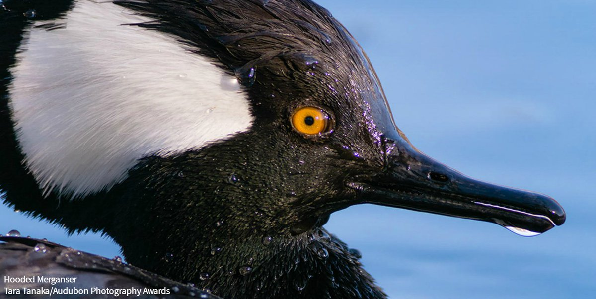 Have you ever heard what a male Hooded Merganser courting a female sounds like? Listen in: ow.ly/GYma307PMfH
