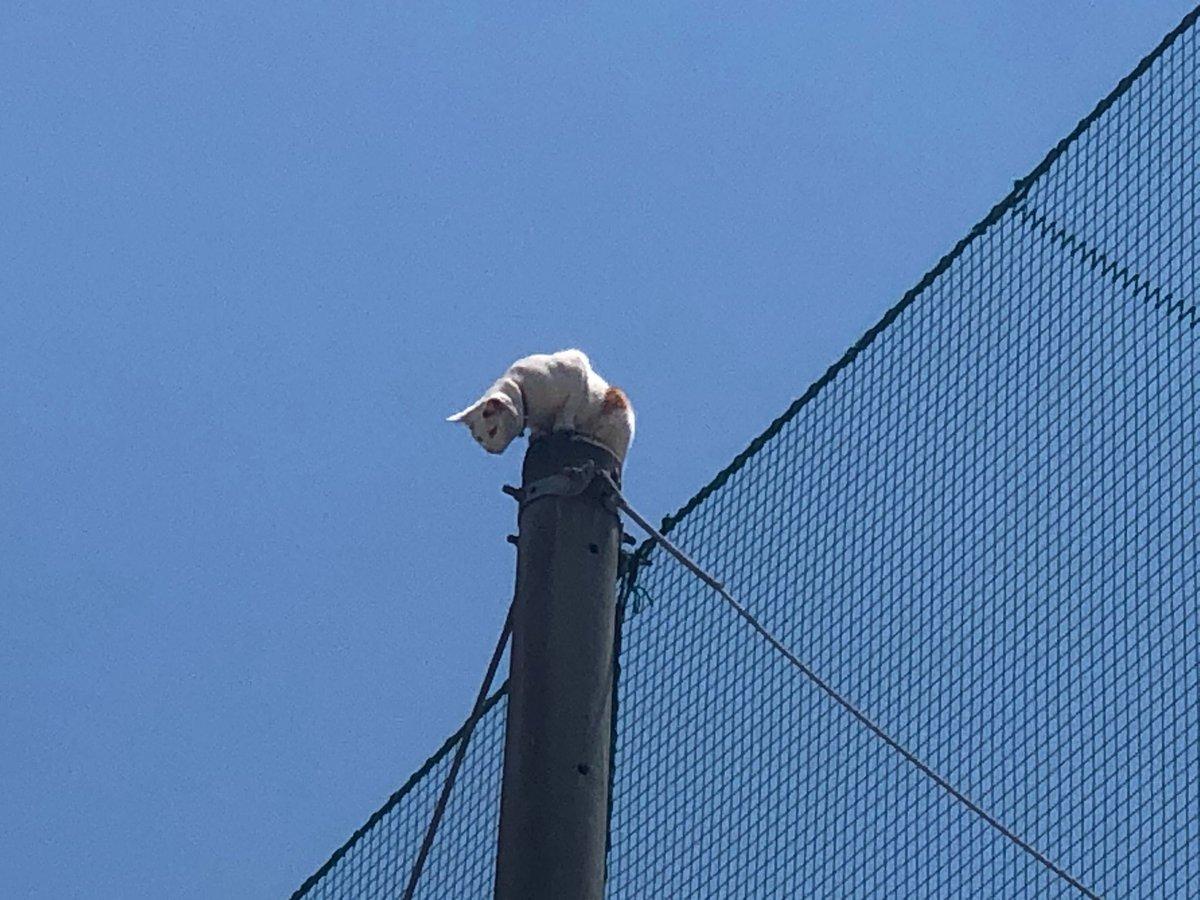 場所は本学クラブセンターグラウンド南側、附属高校グラウンドの鉄柱。「鉄柱にネコが登って、降りられないようだ」と通報を受けました。