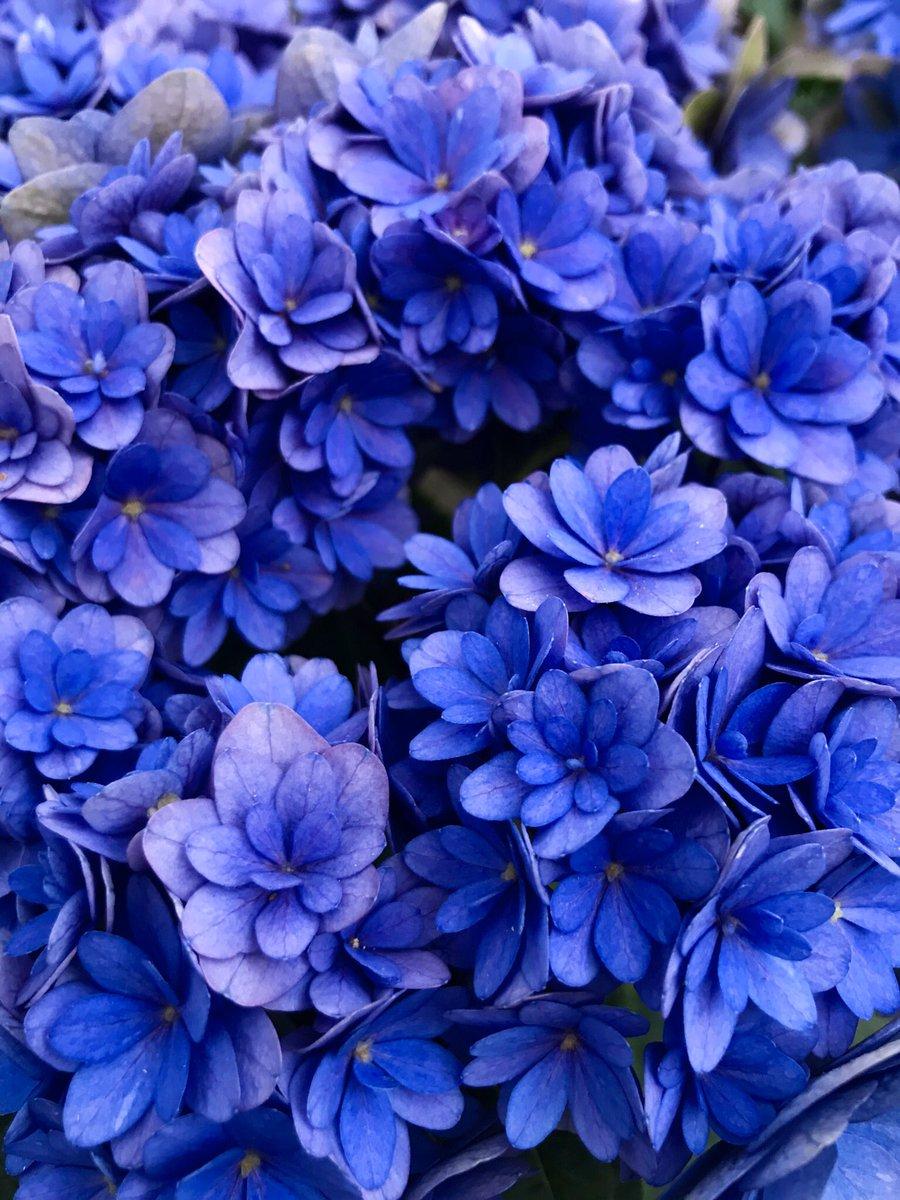 紫陽花きれい🔵
