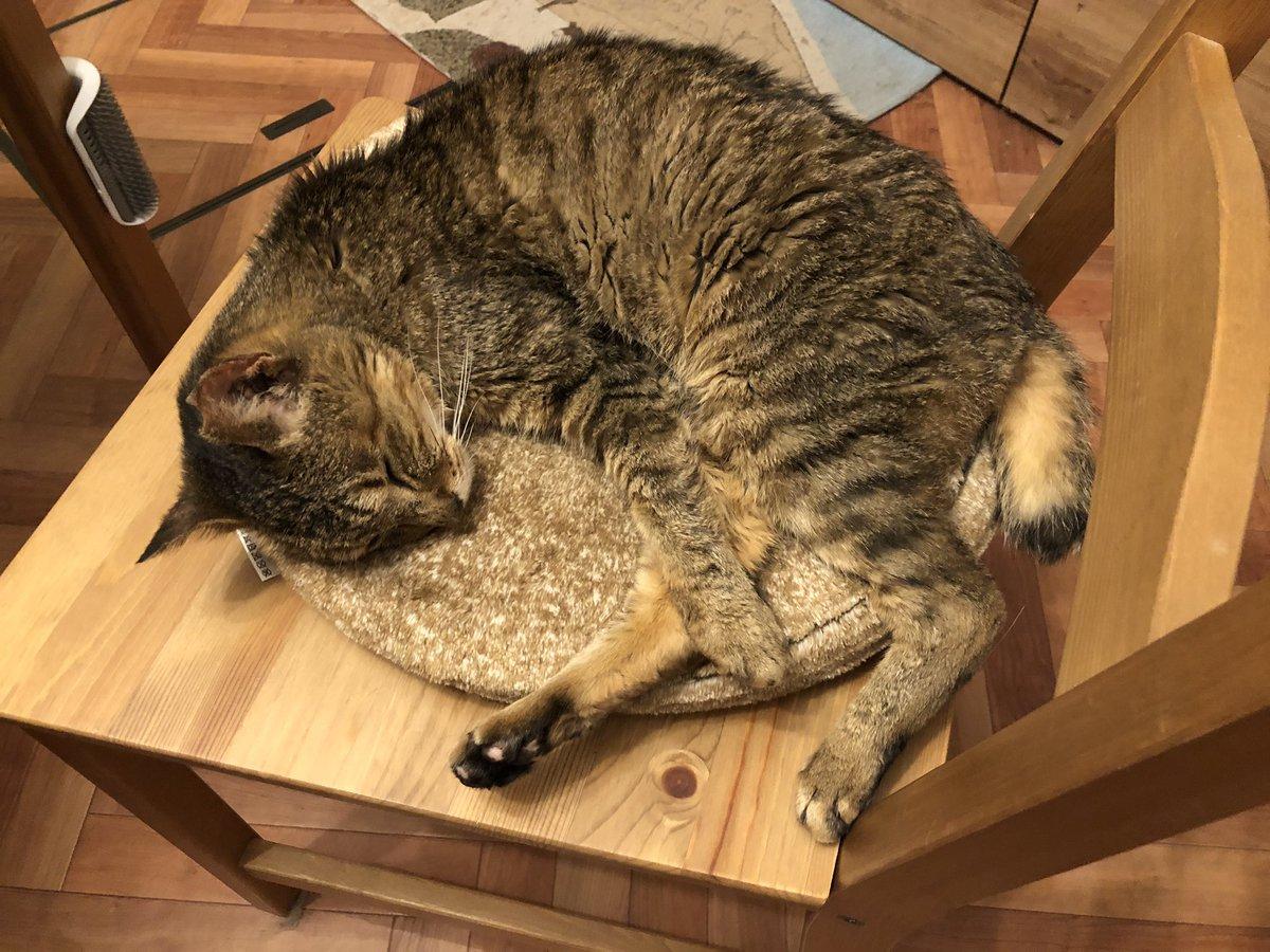 最近がっちゃんがダイニングの椅子で寝るので常に椅子を一つ引いといてあげないといけない。私と妻が椅子に座ってる時空いてる椅子に座ったり、ちゃしろやキジシロが馴れ馴れしくすると怒ったりしてるから、もしかしたら自分を人間だと思い始めてるのかも。がっちゃん、人間は椅子で寝ないんだよ。