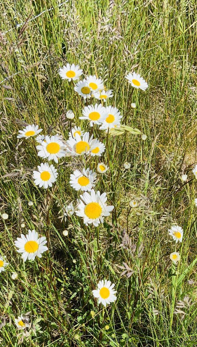 Ox-eye Daisy... #wild and #wonderful  #wildflower pic.twitter.com/83nrm5EeNr
