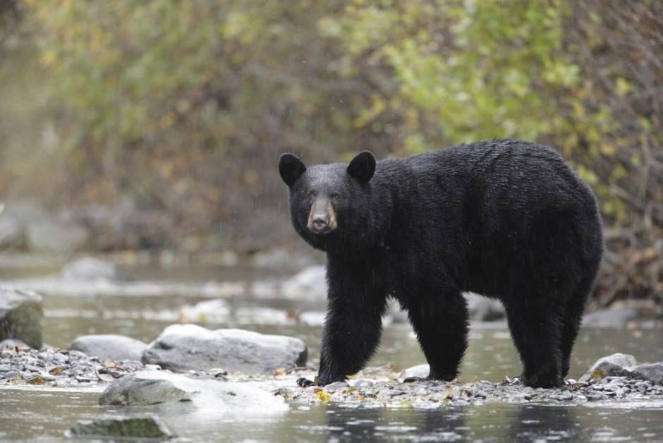 🇺🇸 Nature : les #chasseurs pourront bientôt tuer les #ours noirs et leurs petits, ainsi que les femelles, devant leurs tanières en #Alaska, car #DonaldTrump va revenir sur une loi de protection votée sous Barack #Obama. (The Guardian) #Trump #chasse https://t.co/sOUt3Z50FS