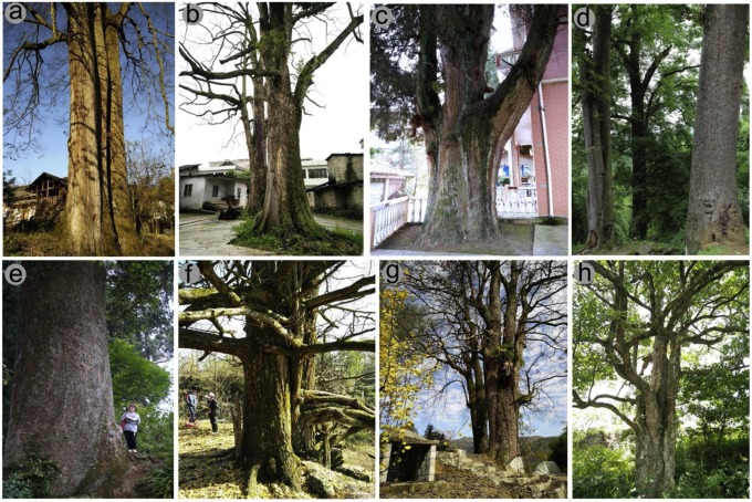 Folklore and cultural beliefs play a key role in helping to protect large old trees in China…    (via @sciencedirect)  #trees #culture #conservation