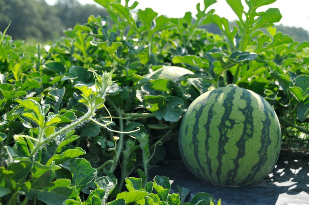 As-Suwayda Directorate of Agriculture has drawn up a plan to grow 193 hectares of watermelons for the current summer season (117 hectares irrigated, 76 hectares rain-fed).  Last season's production of red watermelon in As-Suwayda exceeded 6.300 tons.  #Syria https://t.co/AuWbOx319V