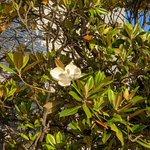 Image for the Tweet beginning: 泰山木の花も咲き始めました。