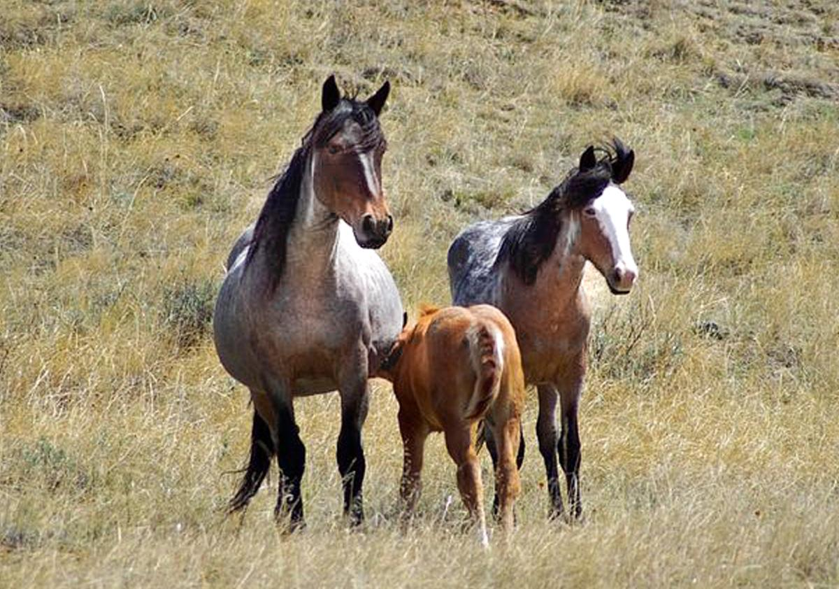 Tell US Govt NOT to Conduct Barbaric Sterilization Surgeries on Wild Mares! https://www.thepetitionsite.com/tell-a-friend/63326534… ASPCA and HSUS signed proposal that will harm thousands of wild horses & burros. https://www.idausa.org/campaign/wild-animals-and-habitats/horse-protection/latest-news/oppose-dangerous-hsus-/-aspca-deal-for-wild-horses-and-burros/… Pls sign both petitions if you live in USA, otherwise 1st one only. pic.twitter.com/06tSdPzu1T