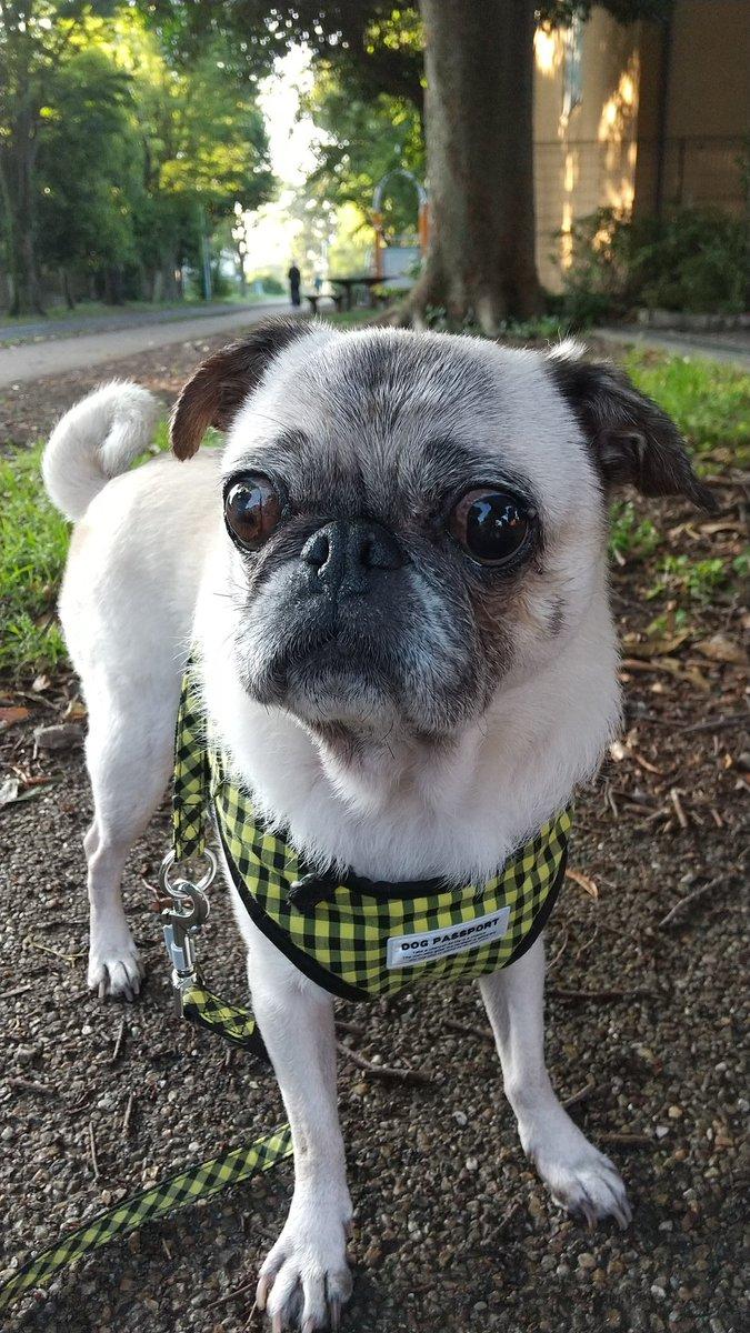 今日はモコさん誕生日 ゆっくりのんびり13歳♡ いつもの通りでマイペース  #pug #パグ #鼻ぺちゃpic.twitter.com/5EuGsPR9eV