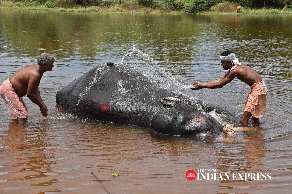 Summer mood!Mahout give bath to an elephant in Tirunelveli's Thamirabarani River. Express photo | Karthikalagu. @xpresstnpic.twitter.com/6kdbgsjeEE