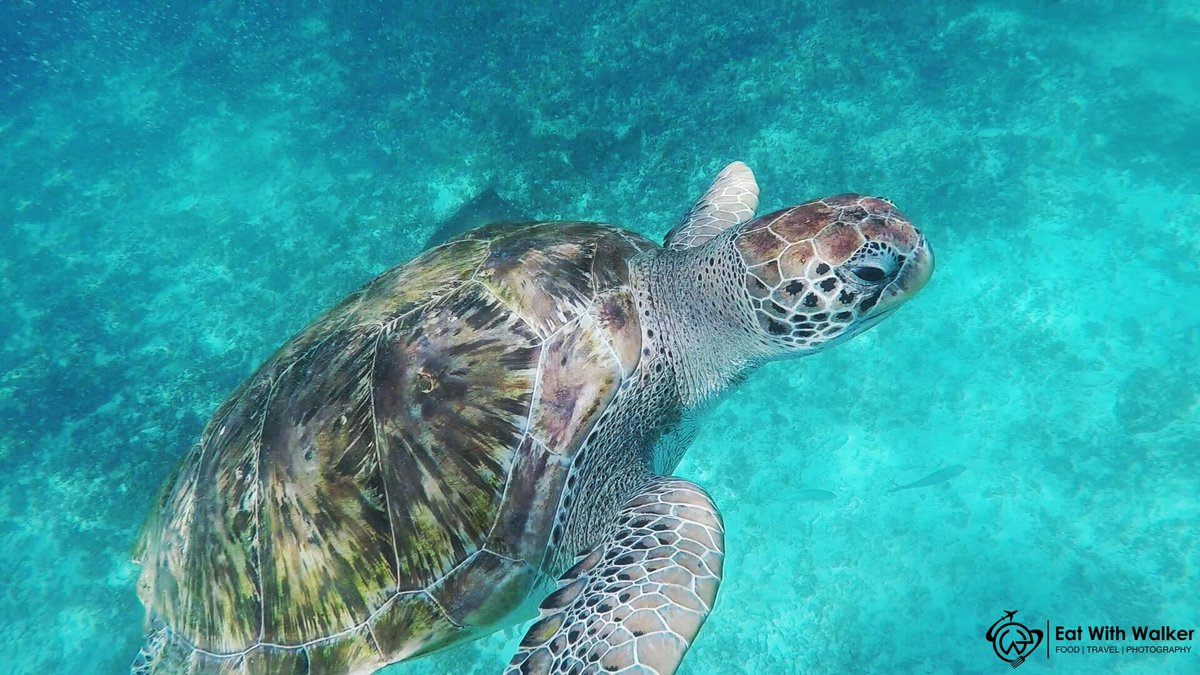 The moment we fell in love with turtles!    by https://www.instagram.com/eat_with_walker/…  #eat_with_walker #turtle #travelphotography  #travelblogger #travel #travelcouple #FridayFeelings #FridayThoughts #FridayMotivation   https://www.instagram.com/p/CAwvwQEA7DZ/pic.twitter.com/lqbntR5Pkn