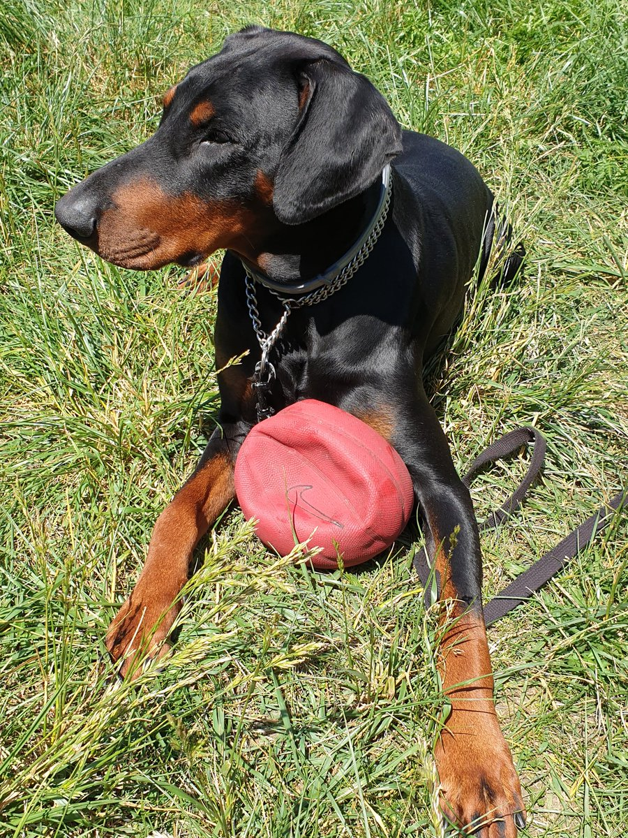 weekend and Inko had fun with the little neighbor's basketball  #doberman #dogsoftwitter #France pic.twitter.com/CkvVRI5hr2