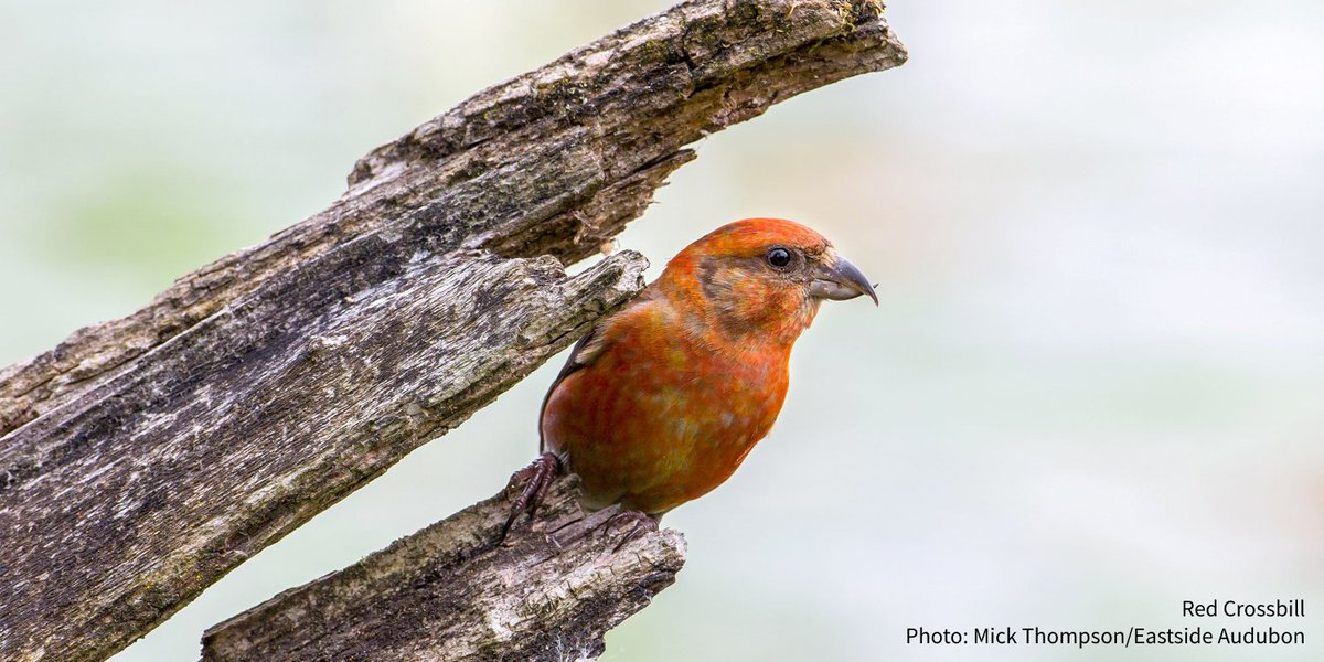 Have you ever wondered how a crossbill gets its crossed bill ow.ly/bNn230qkpnt