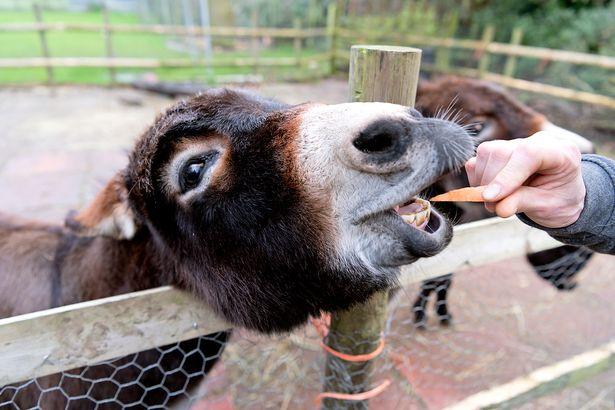 Darts star Rob Cross given four donkeys as thank you in heartwarming Covid-19 tale dailystar.co.uk/sport/darts/da…