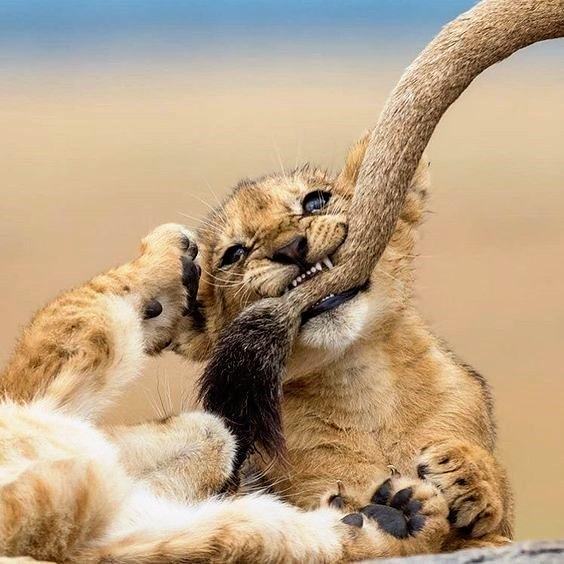 Image Lion everyday  Follow me @lion_passion_13   #lioncub #zoo #safari #lion #lions #lioness #lionking #cats #photo #wild #lioncubs #lionbabe #lionbaby #liontatoos #wildlifepictures #lionsofinstagram #wildanimal #lionlovepic.twitter.com/Po7YIHCREX