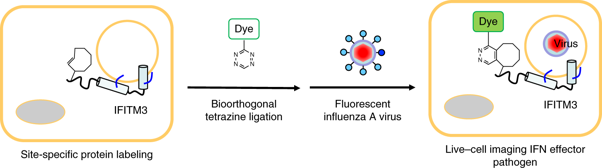 Today's pick is a paper from Howard Hang, @ChandranLab, and Tao Peng from our March 2019 issue in which they showed palmitoylated IFITM3 localizes to endocytic vesicles that fuse with incoming viruses and enhance their traffic to lysosomes. https://t.co/q1Sd3pSd4g https://t.co/QQk7Ug6mGa