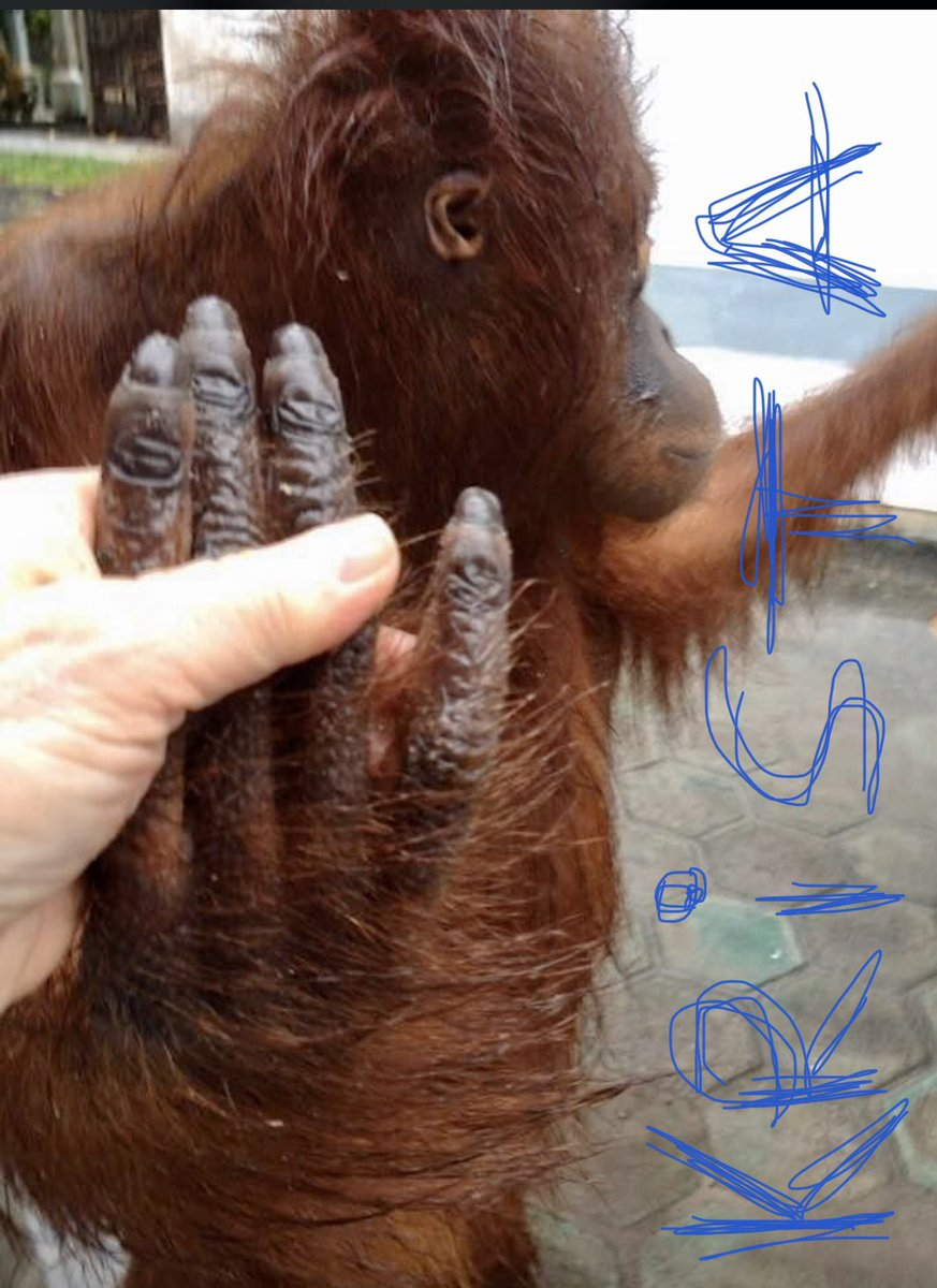 My natural #orangutan  fingernails are prettier than any  #manicure. This is one of those older photos of me that I like to share often to remind people how much like them we are. pic.twitter.com/TEX4cTJ8n0