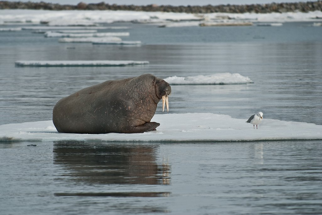 #SocialDistancing on an ice floe 🧊  #DYK walruses depend on ice floes for resting 💤, breeding, giving birth and nursing their young, as well as for shelter from rough seas and predators? #Arctic #wildlife   📸 © Mikhail Cherkasov/WWF-Russia https://t.co/tIz9oAAIJE
