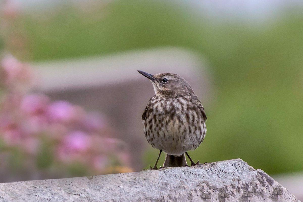 Rock pipit #Birds pic.twitter.com/PFk3yQnkmT