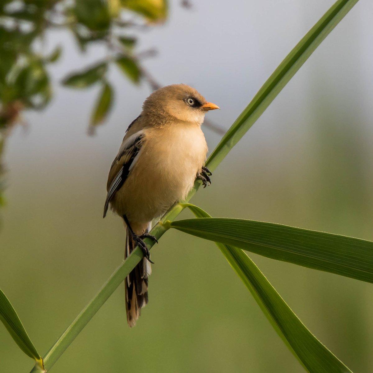 Bearded reedling #Birds pic.twitter.com/FxtAzqtyw0