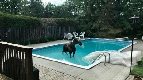 Moose takes a dip in Ottawa couple's pool https://ift.tt/3cfhrWn #ottnews #ottawa pic.twitter.com/JEekXsD2zO