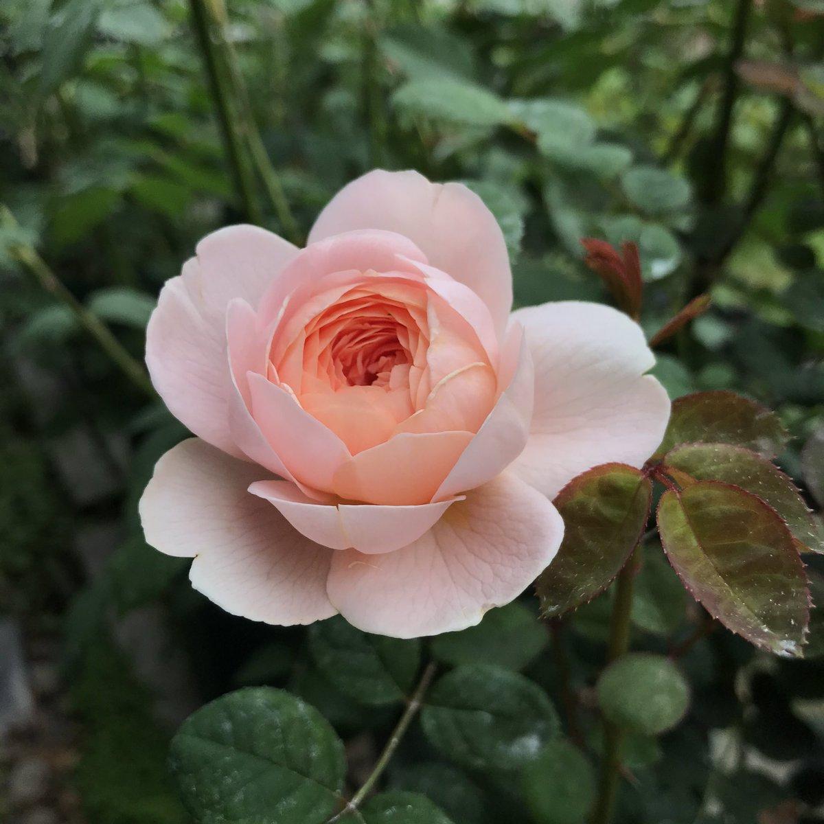 ポツんと一輪のみ咲くクイーン・オブ・スウェーデンの二番花♪  #バラ #イングリッシュローズ #クイーンオブスウェーデン https://t.co/alCv8EtApj