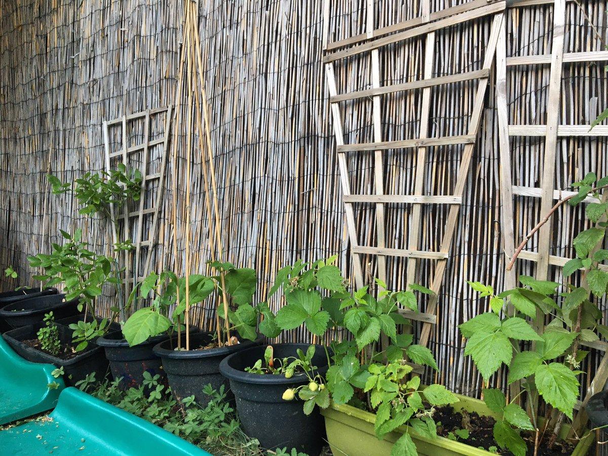 Strawberries, raspberries, spinach, runner beans, peas, blueberries, lettuce, cucumber, carrots & potatoes all growing well 🌱😁👩🌾    #homegrown #garden #gardening #seeds #seedgrowth #plants #fruit #vegetables #selfsufficient #citygarden #greenfingers https://t.co/uDZ4J0LSoD