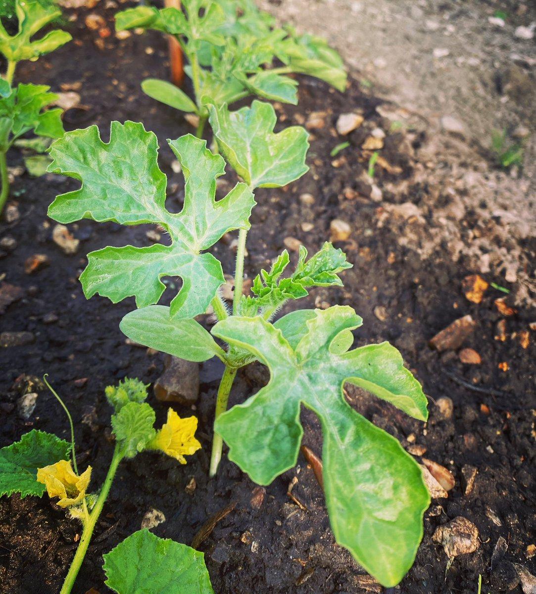 Water melon plants doing ok so far 🤞😊 #allotmentlife  #friday #growyourown  #plants https://t.co/OMfOTysyQ1