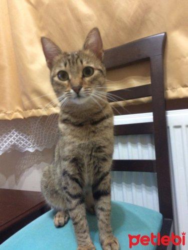 #İstanbul #Kedi Konuşkan Akıllı Zilli #Oyuncu Tekir Kız