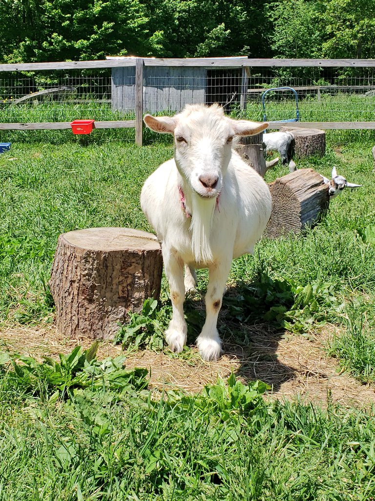 Moms personal favorite goat at our old farm... Our beautiful Aunt Poppy Aunt Poppy has never had children of her own and cares about us as if we were hers #Throwback #goats #animals pic.twitter.com/m16Ulbo6CP