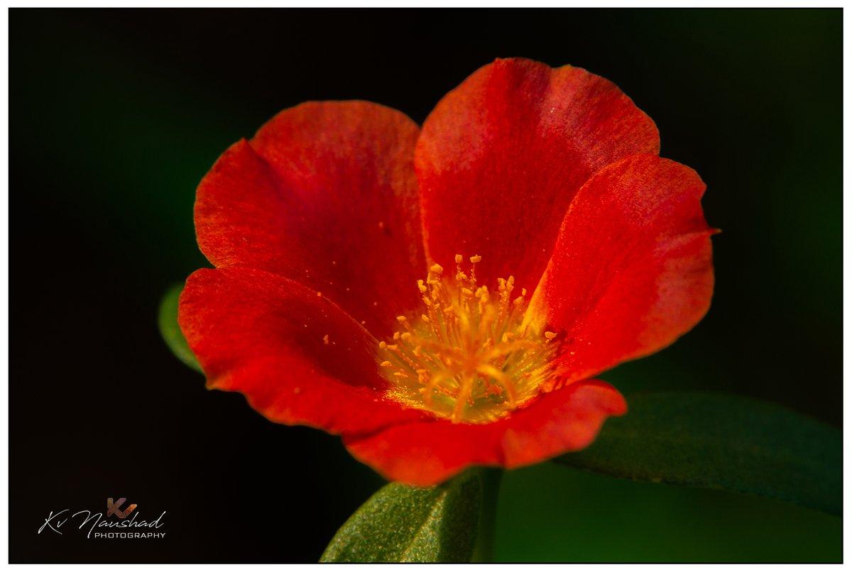 PORTULACA GRANDIFLORA║ #NikonD7100 #Nikon18140 #red #design #floral #flower #vintage #summer #spring #pattern #decorative #nature #romantic #bouquet #plant #green #art #beauty #wallpaper #ornament #botanical #bloom #seamless #bright #portulaca #grandiflora