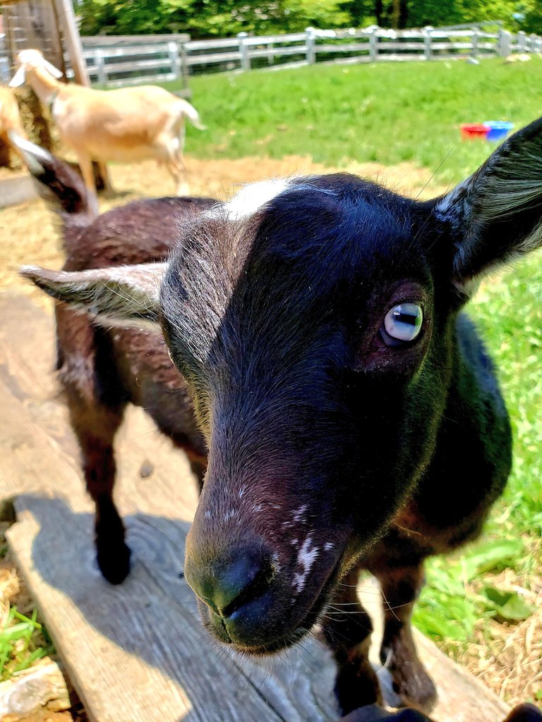 Helllooooo, I spy with my blue eye.... YOU! #cousin to one, #brother to the other #family #goatspic.twitter.com/LnSB7MQkEc
