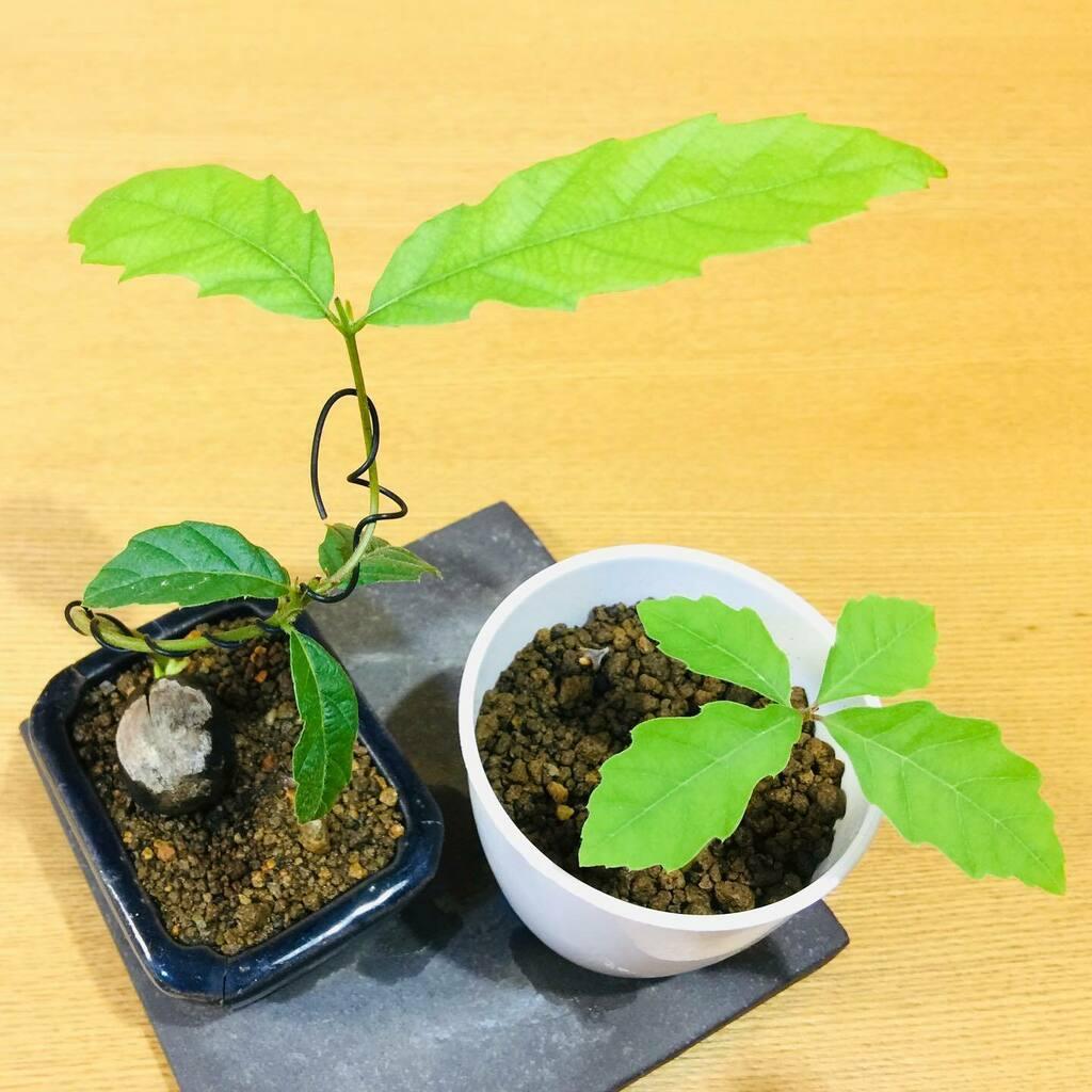 クヌギとコナラ😁🌿クヌギに針金を掛けてみました‼️早いかな…  #盆栽 #bonsai #自然 #緑 #植物 #園芸 #nature #green #plants #gardening #분재 #盆景 #Câycảnh #บอนไซ https://t.co/cCcFuMDxAZ https://t.co/VcJ193NpXH