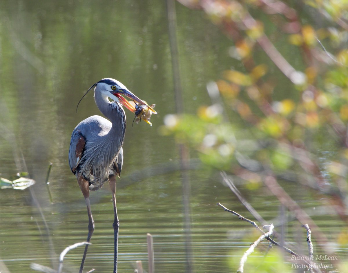 Catch of the day.  #blueheron #herons #trout #conservation #rotarypark #nature #NaturePhotography #wildlife #birds #birdwatching #birdphotography #birding #ontario #ajax #getolympus #omdem1mark11 #300mmf4pro https://t.co/ayIv5pLyW8