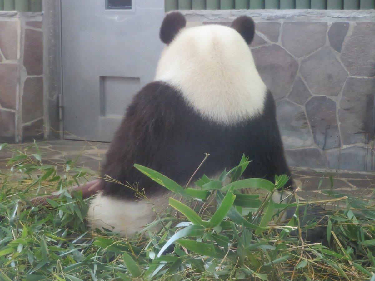 今朝の動画の写真になります🐼なるべく、おにぎりっぽい角度を狙い撮影しましたがどうでしょうか?って、僕もおにぎりを意識しちゃってますね(笑)#きょうのタンタン   #王子動物園#休園中の動物園水族館 #おにぎり#ありがとうタンタンキャンペーン(5/31まで休園中)