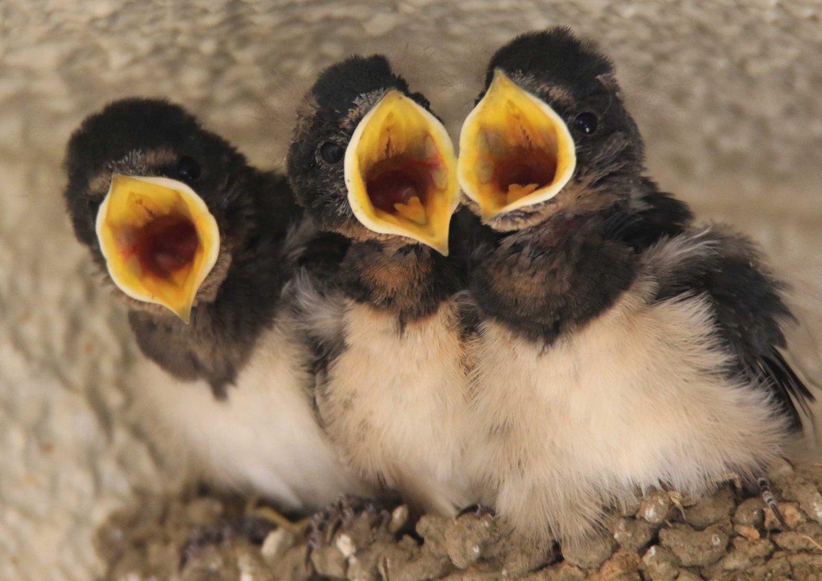 育ち盛りの子ツバメたち。大きな口を開けて、「お腹へったー」と合唱しています。親ツバメたちは大忙しです(・θ・)