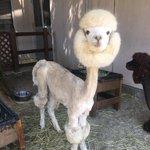涼しそう?アルパカの毛刈りした姿が可愛らしい!