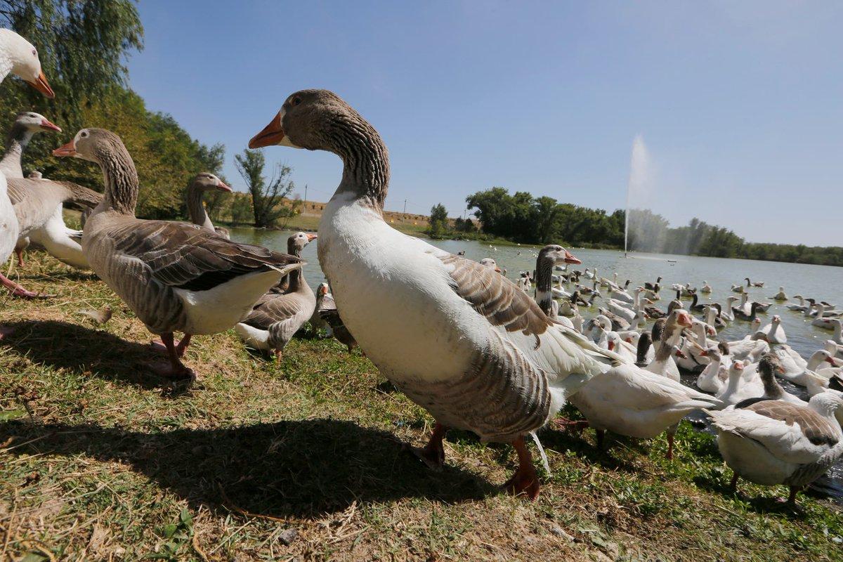 Salieron a pasear los gansos de Palermo.