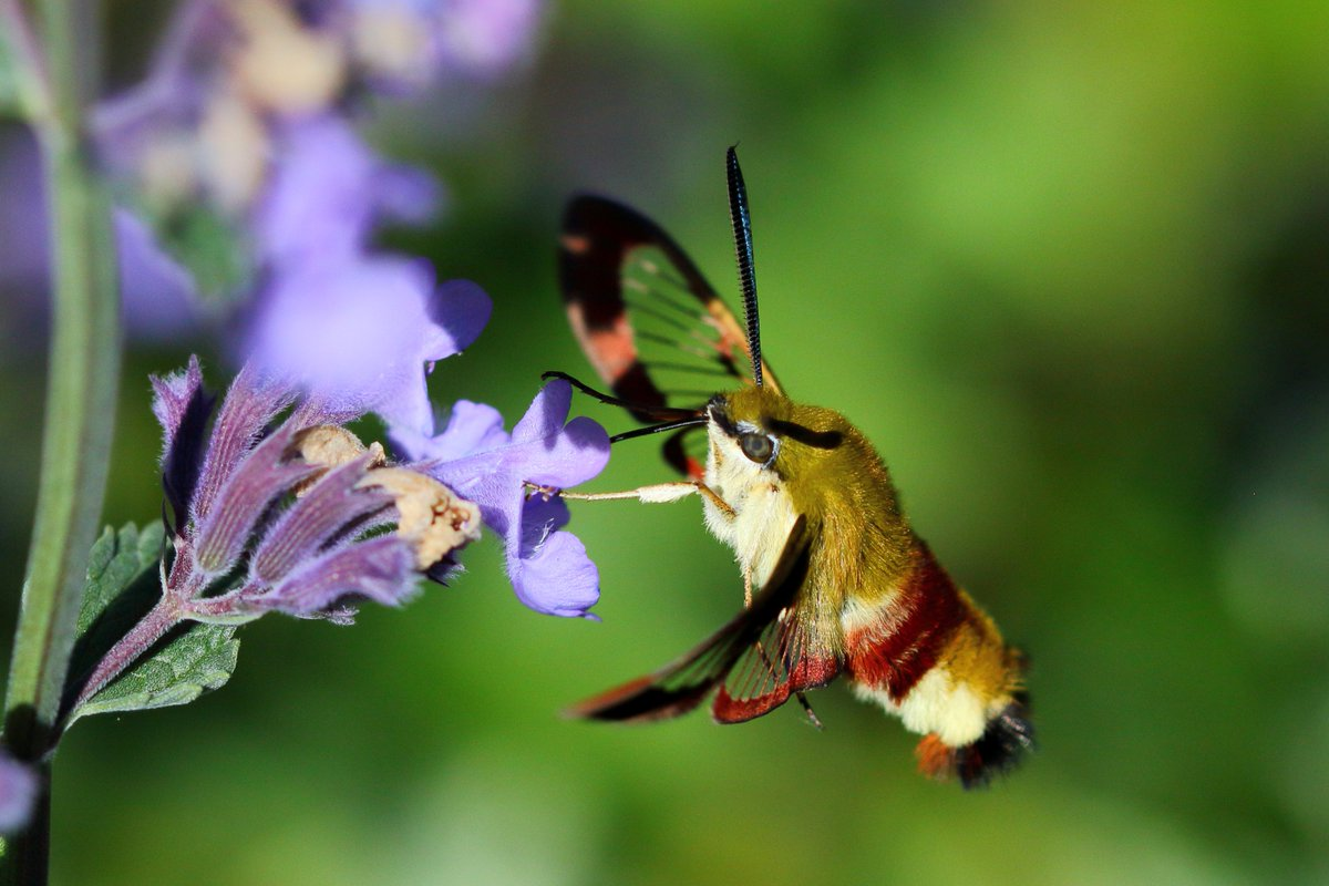 It was fascinating to watch this Hummingbird hawk-moth yesterday! Hoping everyone has a great weekend. Stay safe all. #TwitterNatureCommunity #BBCWildlifePOTD #nature #NaturePhotography #moths #naturelovers #MentalHealthMatterspic.twitter.com/FD62hw8G0S